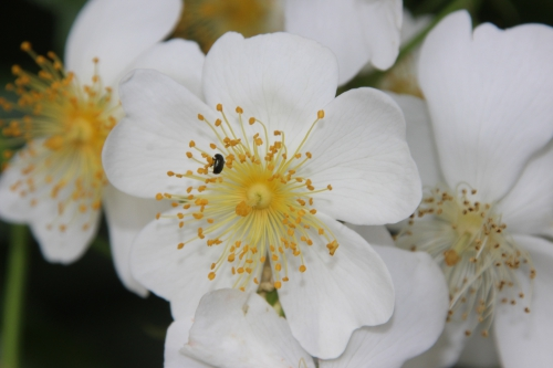 12 rosa mulliganii veneux 24 juin 2016 026.jpg