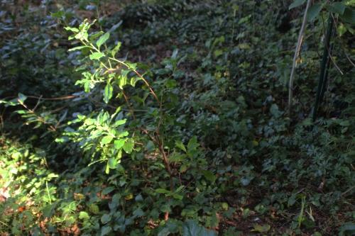 2 arbutus andrachnoides veneux 14 sept 2014 001 (9).jpg
