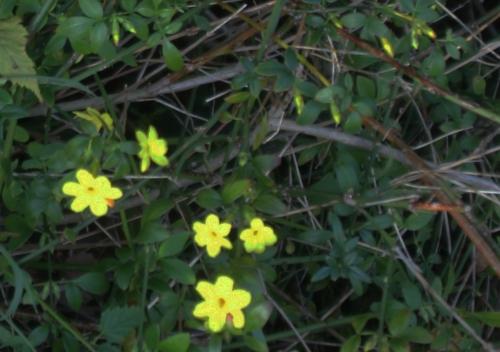 2 jasminum nudi rec veneux 7 nov 2015 001.jpg
