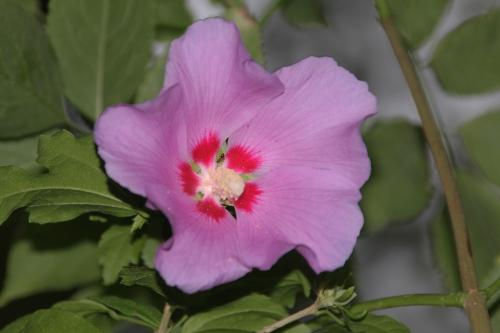 hibiscus syriacus veneux 28 juil 2015 009 (1).jpg