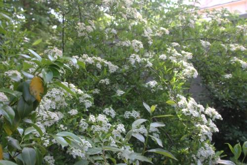 18 hydrangea bretsch veneux 23 mai 2017 030.jpg