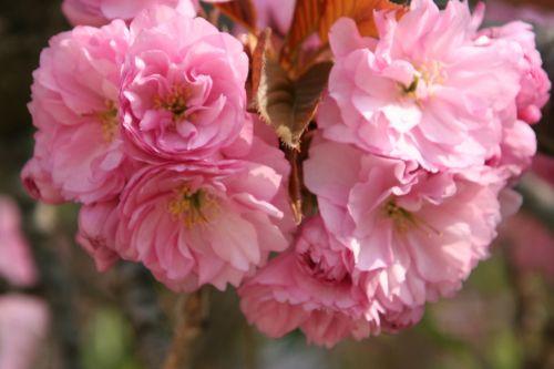 serrulata 3 prunus serru paris 6 avril 172.jpg