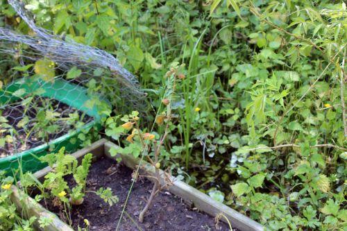 2 fremontodendron romi 5 juin 2013 033.jpg