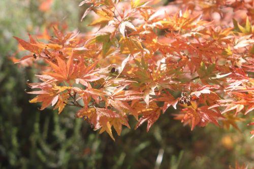 acer palmatum gb 21 oct 2012 171 (4).jpg