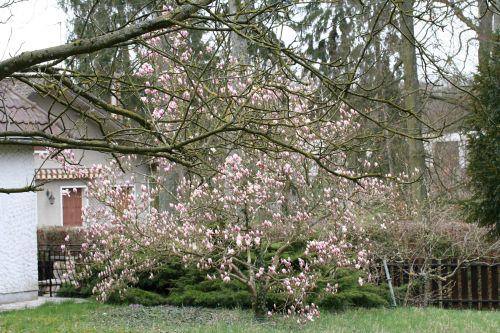 2 magnolia 24 mars 012.jpg
