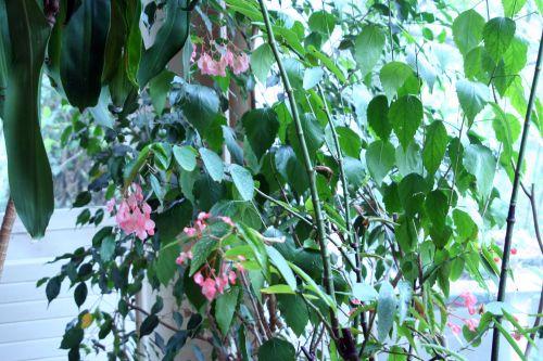 begonia veneux 14 avril 003.jpg