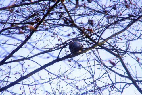pigeon 14 dec 001.jpg