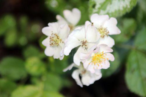 7 rosa multiflora semis romi 31 mai 2014 055 (1).jpg
