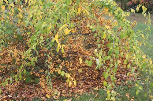 celastrus angultus 3 barres 13 oct 2012 157 (9).jpg