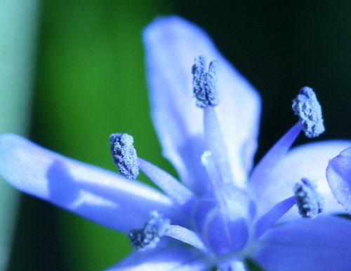 scilla pollen veneux 15 mars 003.jpg