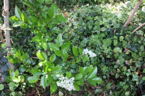 1 ligustrum japonicum texanumveneux 10 juil 2016 001 (1).jpg