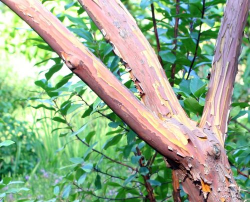 z arbutus andrachnoides branches 16 septembre 093.jpg
