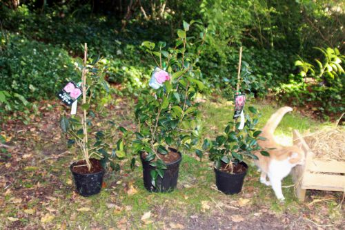 6 camellia 16 sept 2013 006.jpg