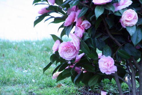 camellia paris 23 mars 033.jpg