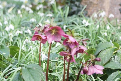 7 helleborus orientalis veneux 11 mars 2018 021 (1).jpg