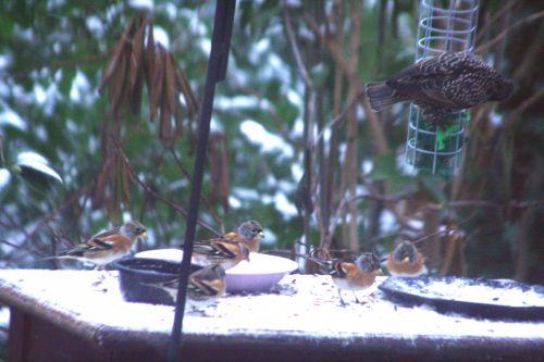 troupeau oiseaux veneux 24 déc 2010 033.jpg