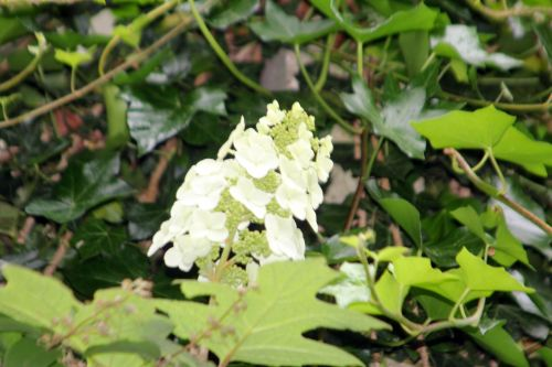 hydrangea quercifolia veneux 24 juin 2012 001.jpg