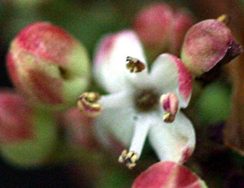 houx fleur p 29 avril 018.jpg