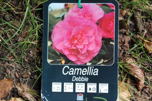 camellia 16 sept 2013 010.jpg