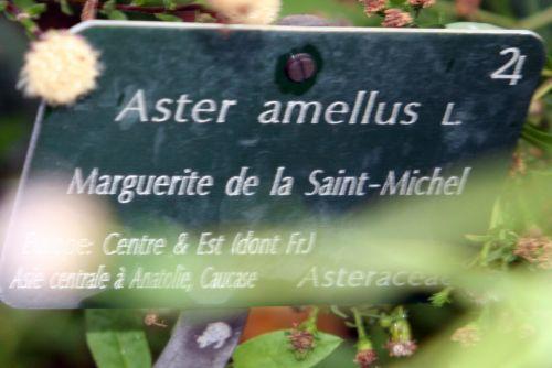 aster amellus blanc étiq paris 26 sept 2010 303.jpg
