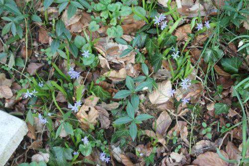 1 scilla bifolia veneux 13 mars 2012 020.jpg