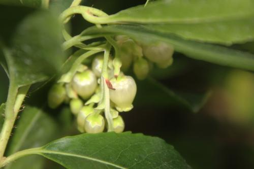 5 arbutus andrachnoides veneux 3 oct 2015 006 (1).jpg
