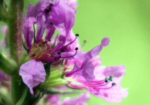 5 lythrum sal fleur romilly 29 juil  2012 028.jpg