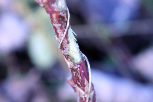 ferox écorce rongée romi 17 janvier 024.jpg