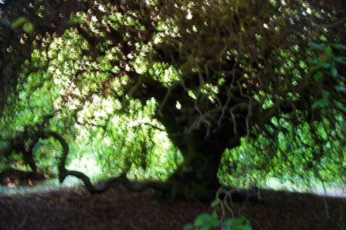 fagus tortuosa barres 11 oct 102.jpg