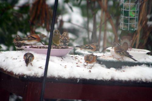 oiseaux dessus 19 déc 2010 031.jpg