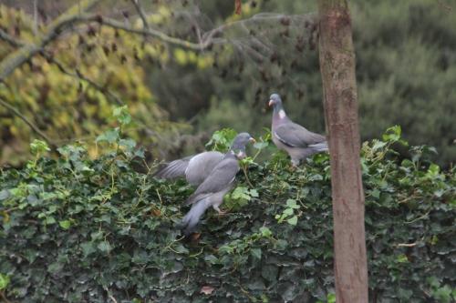 10 pigeons paris 4 déc  2011 086 (3).jpg