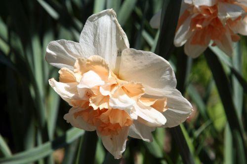 narcisse romi 2 mai 017.jpg
