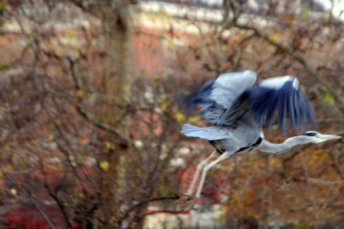 héron vol paris 27 nov 2010 134.jpg