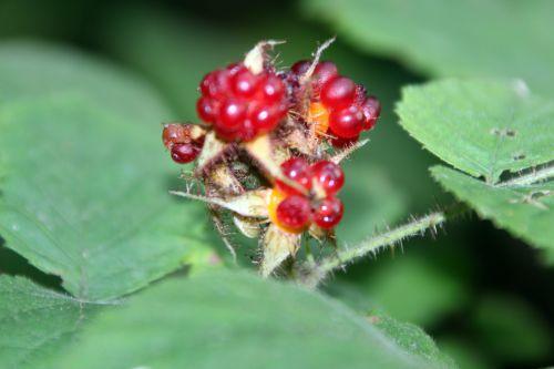 h rubus phoenico veneux 2 août 2014 004 (1).jpg