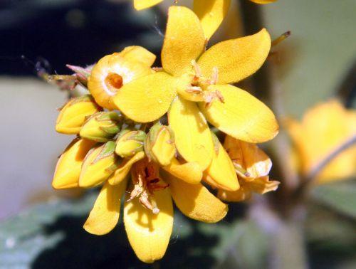 c lysimachia vulgaris fl romi 5 juil 2010 008.jpg