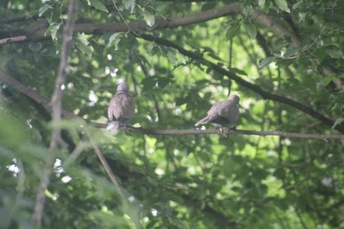 3 pigeon ramier  veneux 26 mai 2015 020 (1).jpg