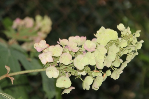 14 hydrangea quercifolia snow veneux 29 juil 2015 002.jpg