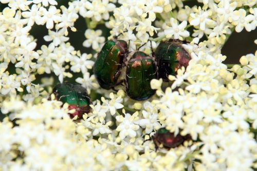 viridis cétoines romi 23 mai 064.jpg