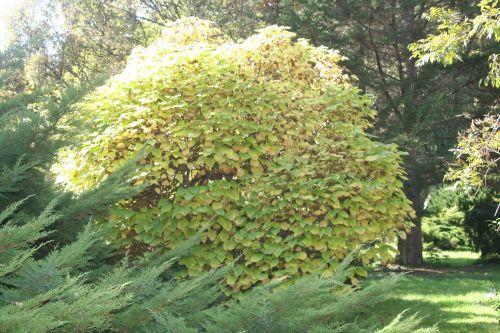 catalpa entierarbofolia 9 oct 2010 032.jpg
