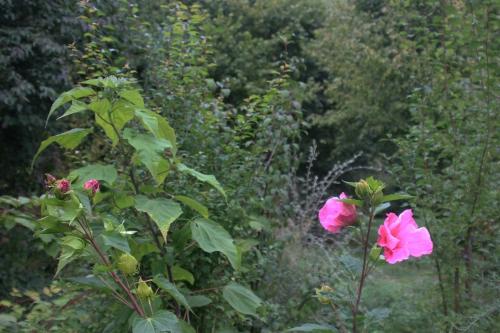 5 hibiscus planet et moy romi 21 sept 2015 015.jpg
