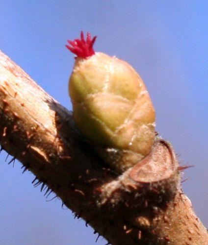 corylus fleur 19 fev 056.jpg