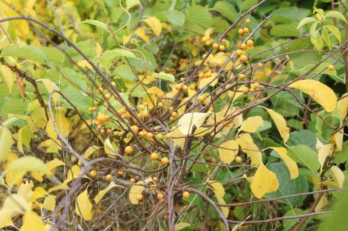 celastrus orbiculatus 3 barres 13 oct 2012 126 (2).jpg