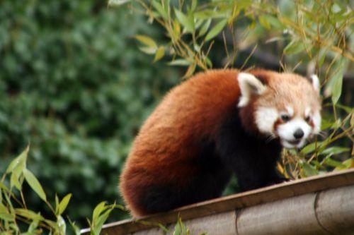 petit panda 9 fev 062.jpg