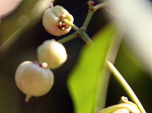euo kiau fruits paris 10 oct 2010 p 022.jpg