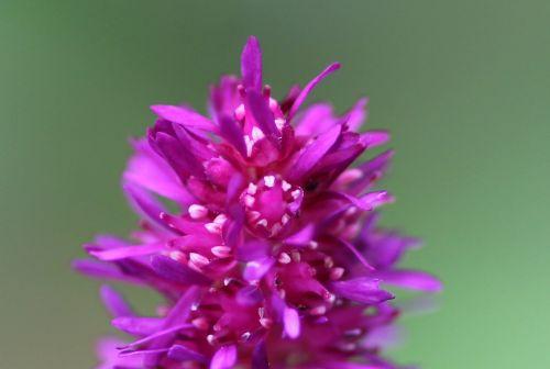 fleur astilbe chinensis romilly 16 juil 2012 152.jpg