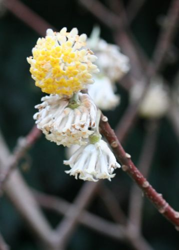 edgeworthia Paris 12 mars 017.jpg