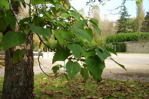 paulownia feuilles chèvreloup 20 oct 046.jpg