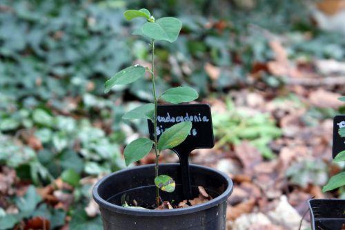 5 pseudocydonia sinensis 29 janv 2012 004.jpg