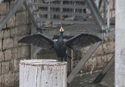 cormoran rec paris 12 janv 2013 p 017.jpg