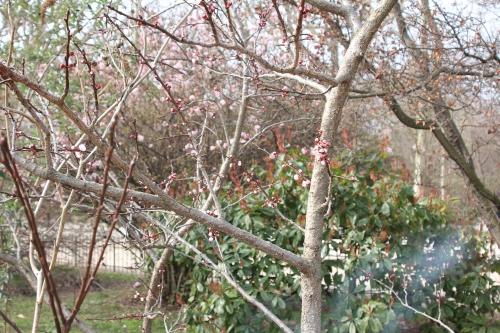 5 abricotier paris 18 mars 2015 005.jpg